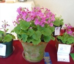 Primula kisoana at APS Show '10