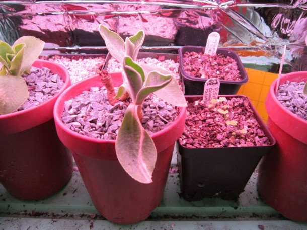 An auricula seedling that hasn't bloomed yet for me.