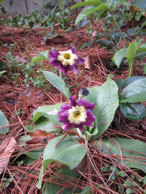 Primula auricula with a surprise late flower stem. I hope it will still have blooms in the spring. the flowers are very large on this one.