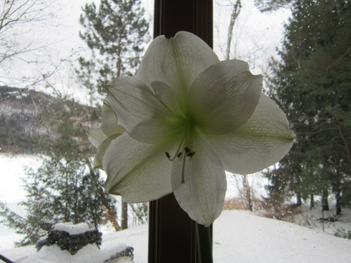 The only Amaryllis I can get to reflower every year. I have two others that never boom but I am not giving up on them!