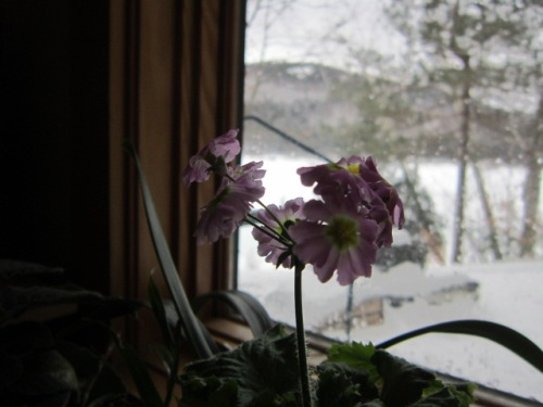 A little Primula malacoides that was grown from seed by me friend Matt Mattus. He has way better photos of these on his blog at Growing With Plants.